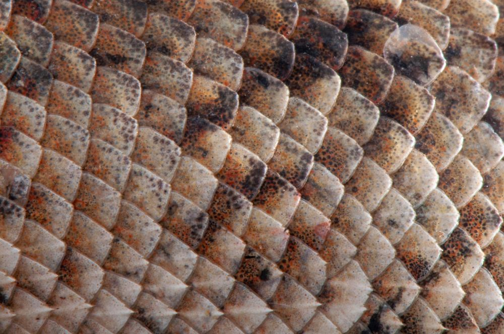 Photo in Macro #nture #wildlife #scales #lizard #best #creature #wild sri lanka #macro #closeup #macro sri lanka #asia #sri lanka #wild sri lanka #deails #patterns #sula photogrphy #tiny #oriental #eastern #garden #bloodsucker #changeable #caloyus #versicolor