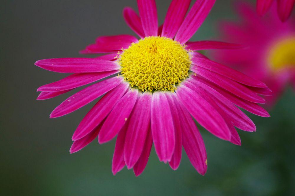Photo in Macro #pink daisy