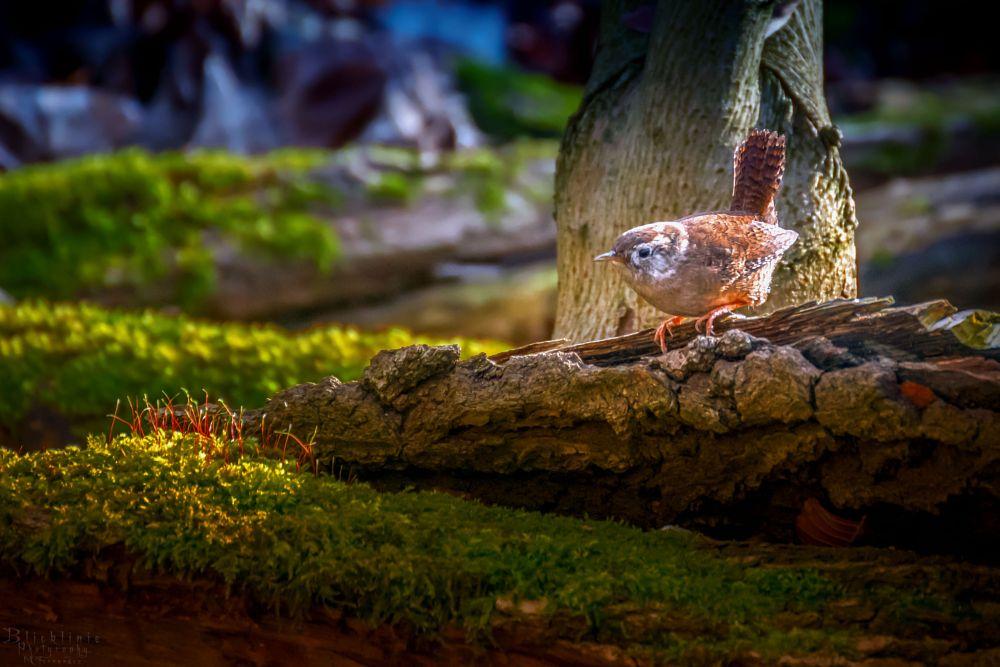 Photo in Animal #wren #bird #animal #nature #wildlife #blicklinie