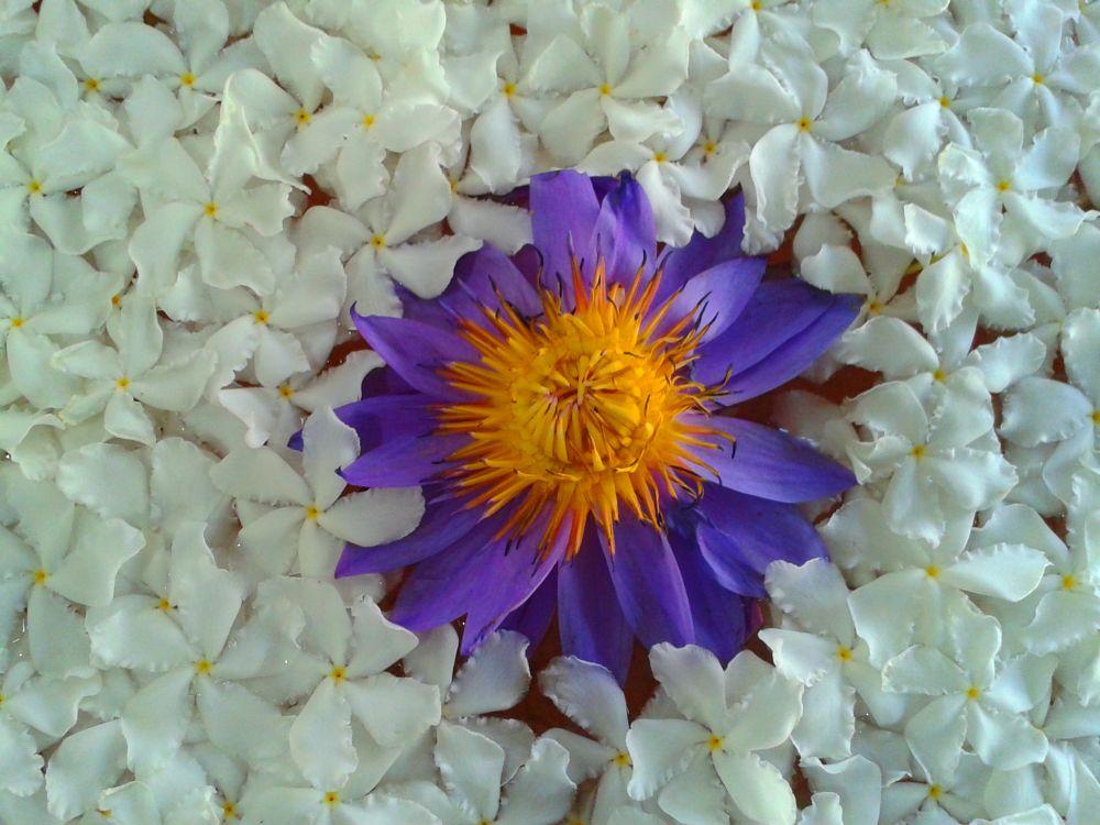 Photo in Macro #blue #white #lilly #jesmin #srilanka #white flower