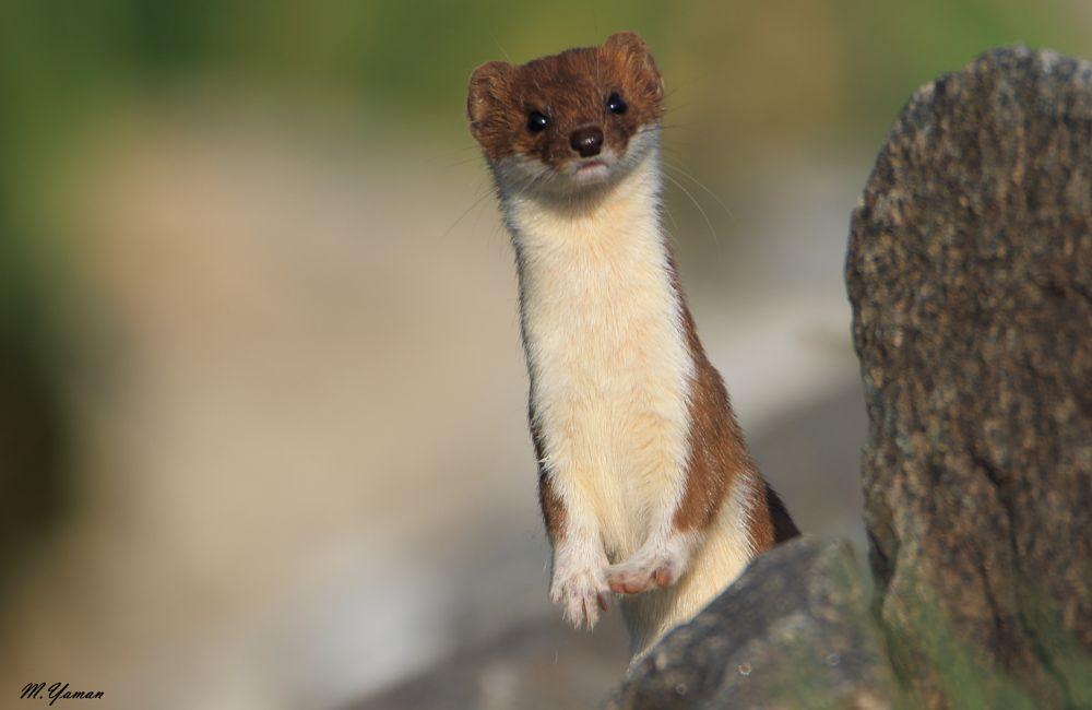Photo in Animal #gelincik #least weasel
