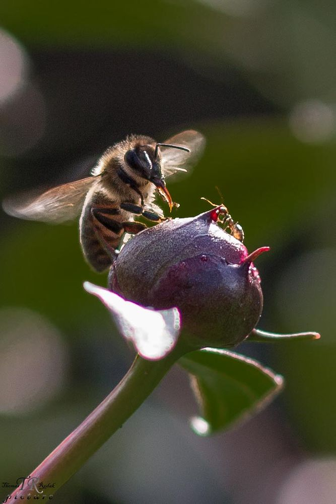 Photo in Nature #ant #bee #biene #ameise