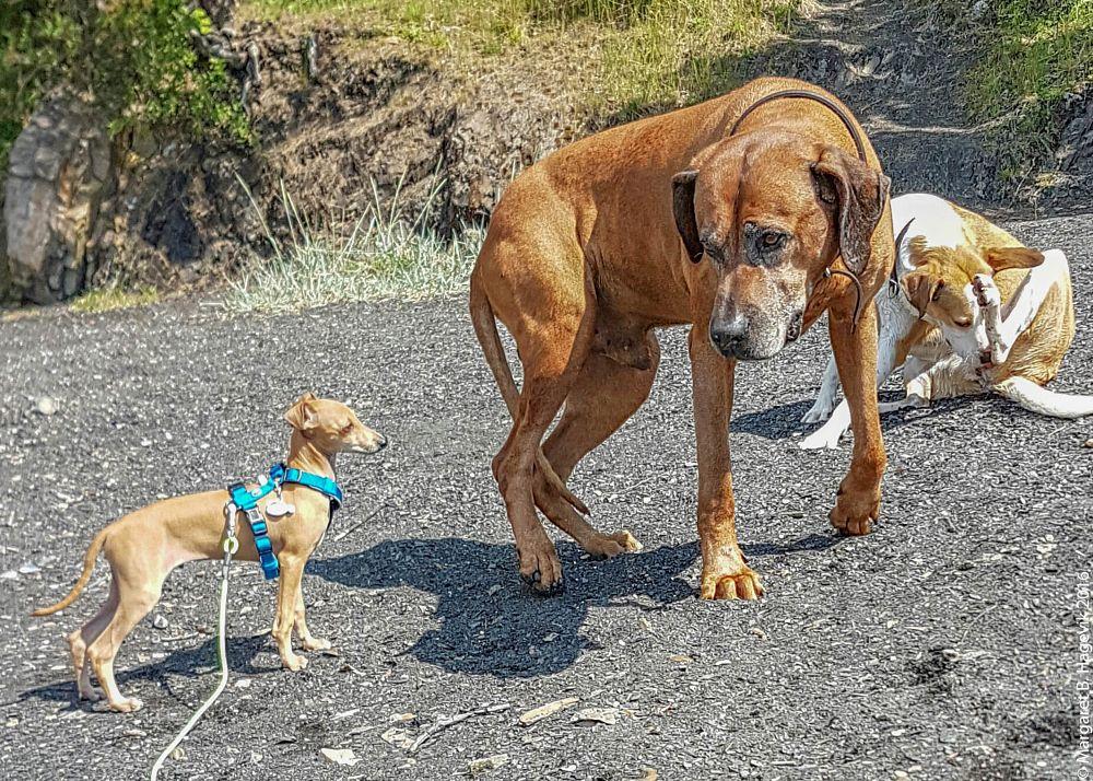 Photo in Animal #dog #italian greyhound #meeting