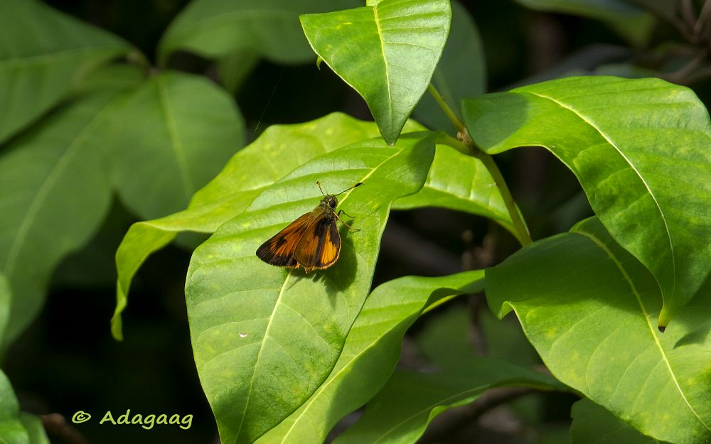 Photo in Nature #adagaag #butterfly #orange #leaf #caribbean