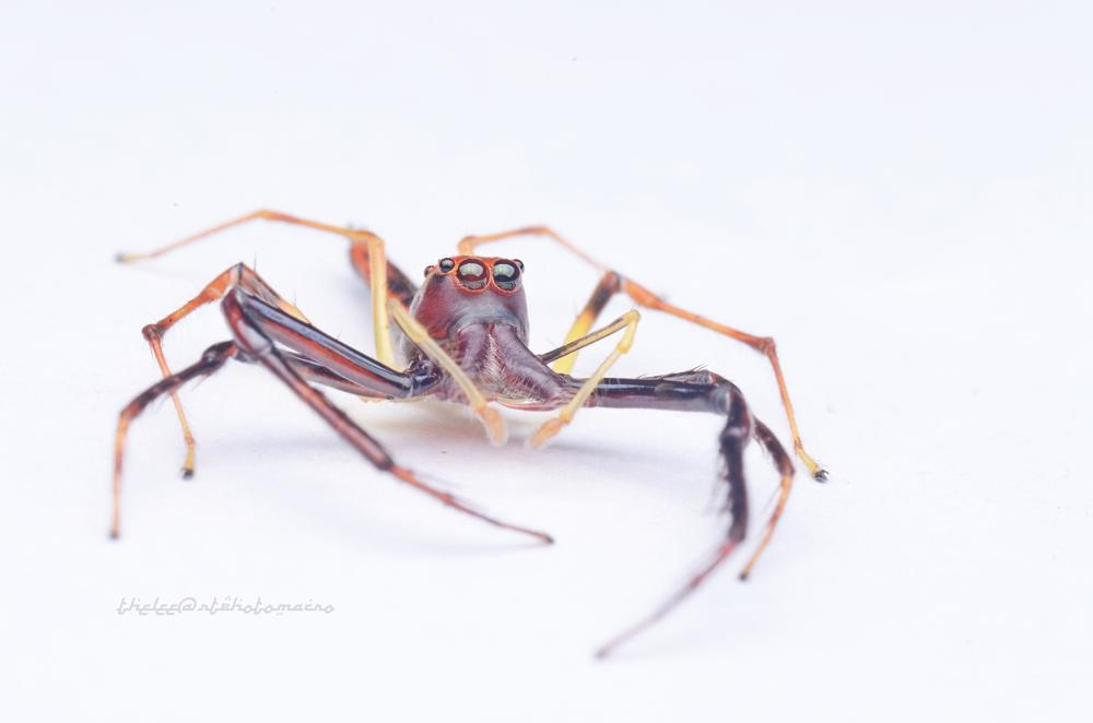 Photo in Macro #viciria #jumping spider #wide jaw