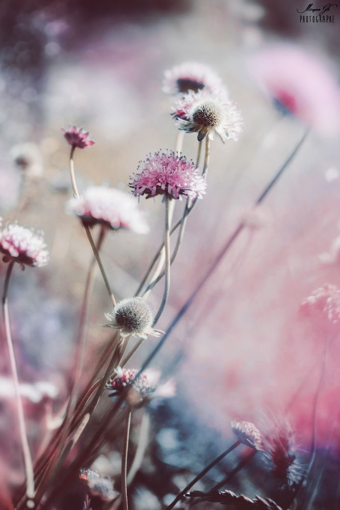 Photo in Macro #nature #pink #macro #blue #flower #color #colour #colorful #proxy #blur #bokeh #light #spring #fairy