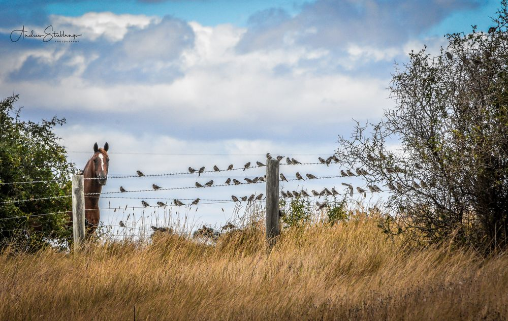 Photo in Animal #kanawinka #southwest victoria #andrew stubbings #beacc #bird life #birds #birds on the wire #cobden #fences #horse #iamvolcaniclakesandplains #lake beacc #volcanic plains #wire