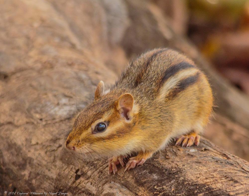 Photo in Animal #mammal #chippie #chipmunk #ground squirrel #neotamias