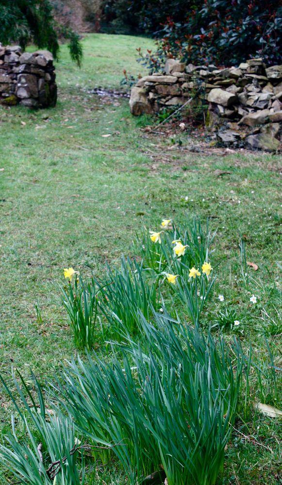 Photo in Landscape #daffodils #wall #greenery #rowallane garden #national trust