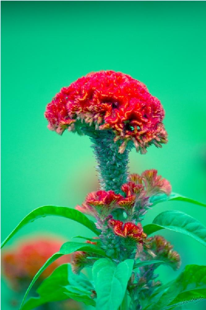 Photo in Nature #red flower #red and green flower #flower