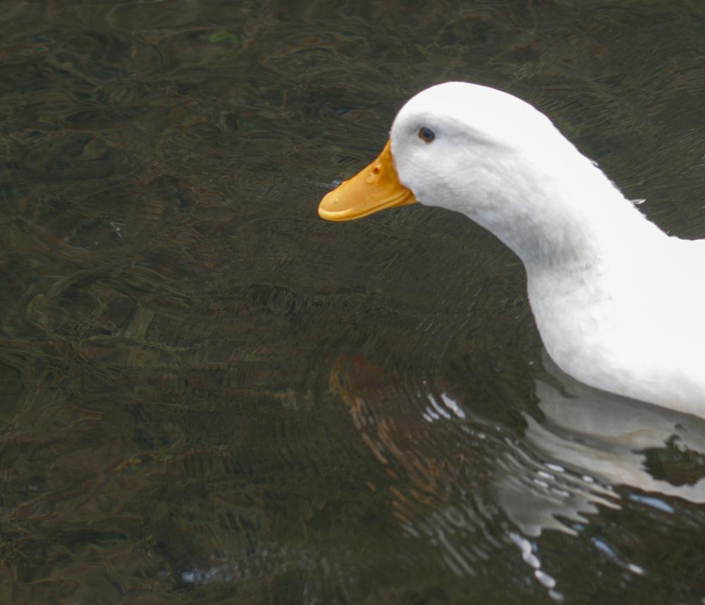 Photo in Random #duckhead #duck head #head #duck #white bird #white bird head