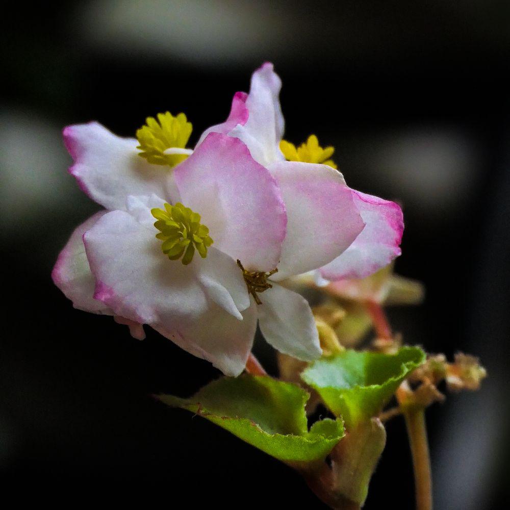 Photo in Random #begonia #perennial #subtropical