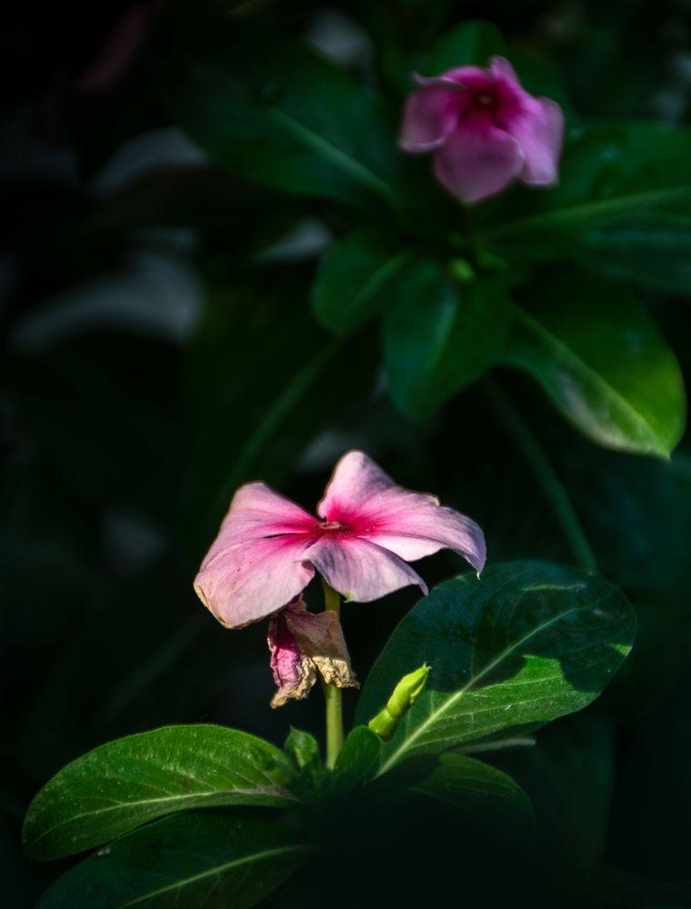 Photo in Nature #sadabahar #madagascar #catharanthus roseus #antidiabates