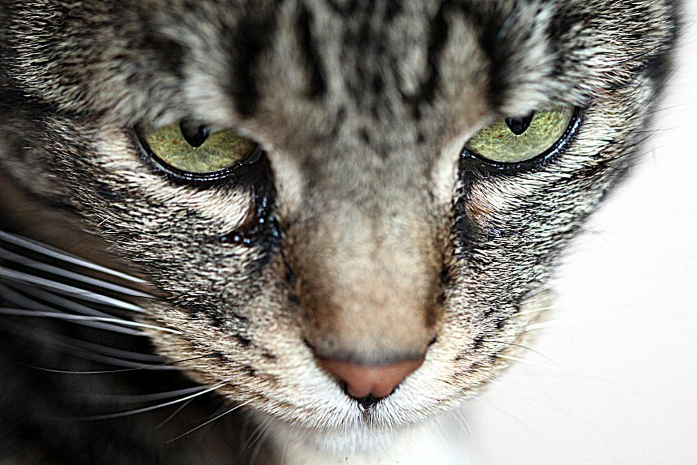 Photo in Animal #cat #eyes #catseyes #beautiful #pet #feline #pretty #amazing #striking #christo #smith #magicsmith #legacy #south #africa #gauteng #canon5dmarkii #100mm #macro #closeup #vivid #detailed #animal