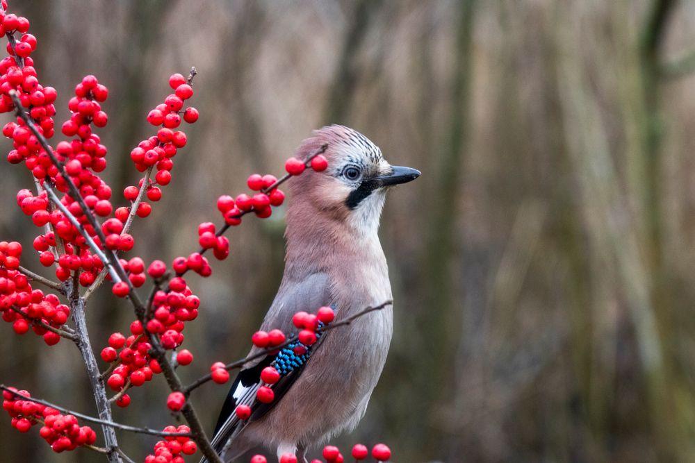 Photo in Nature #jay #bird #birdphotography #canon #nature