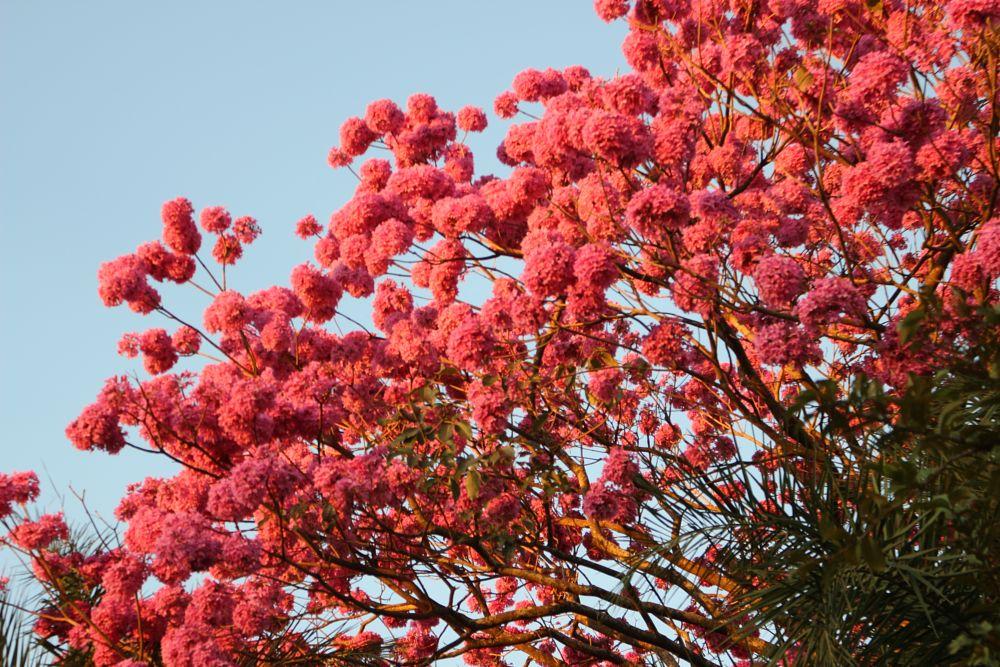 Photo in Nature #flores ipê #natureza #cores