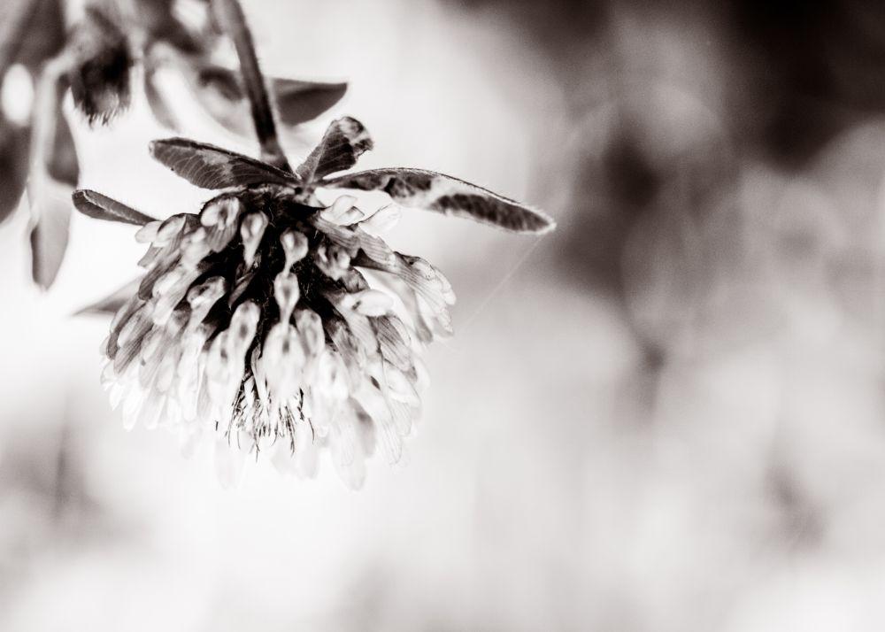 Photo in Macro #macro #nature #flower #b&w #black and white
