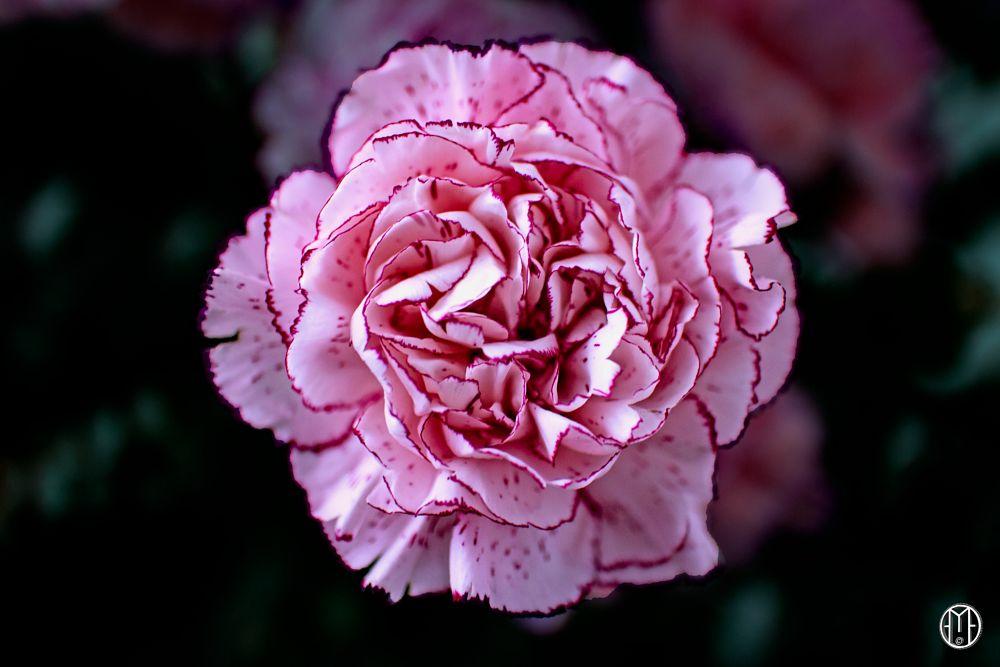 Photo in Nature #carnation #clavel #flor #nature #plants #gabriel ochoa rojas #bouquet of flowers #ramo de flores #adorno
