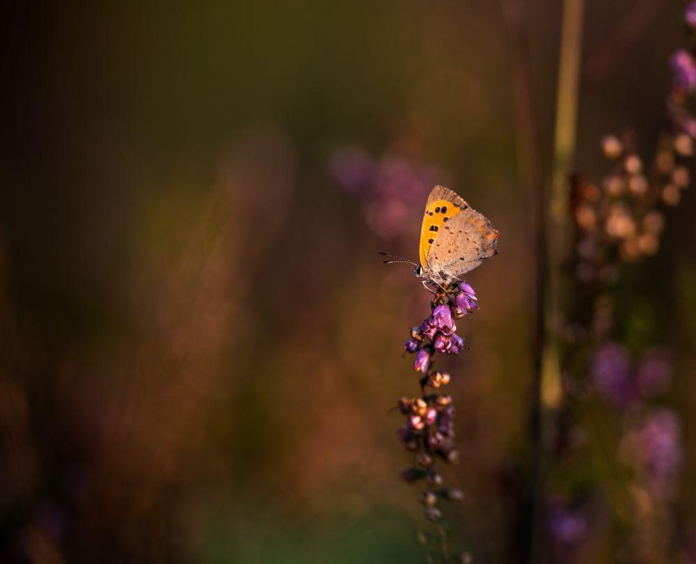 Photo in Macro #macro #butterfly #heath #colors