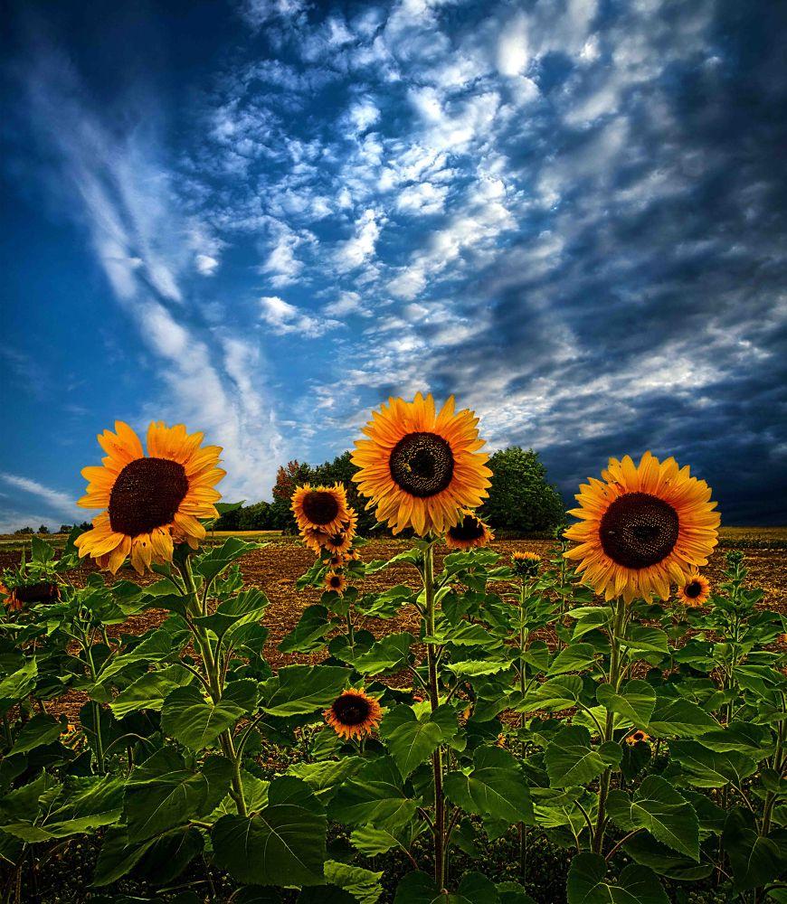 Photo in Nature #sunflower #sunflowers #sun #flowers #nature #autumn #fall #wisconsin #horizons #phil koch #trinity