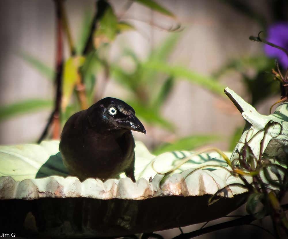 Photo in Nature #bird #grackle #feeder