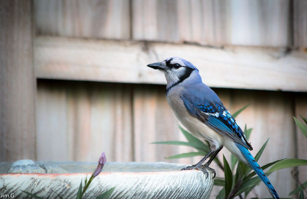 Photo in Nature #bird #bluejay #drinking