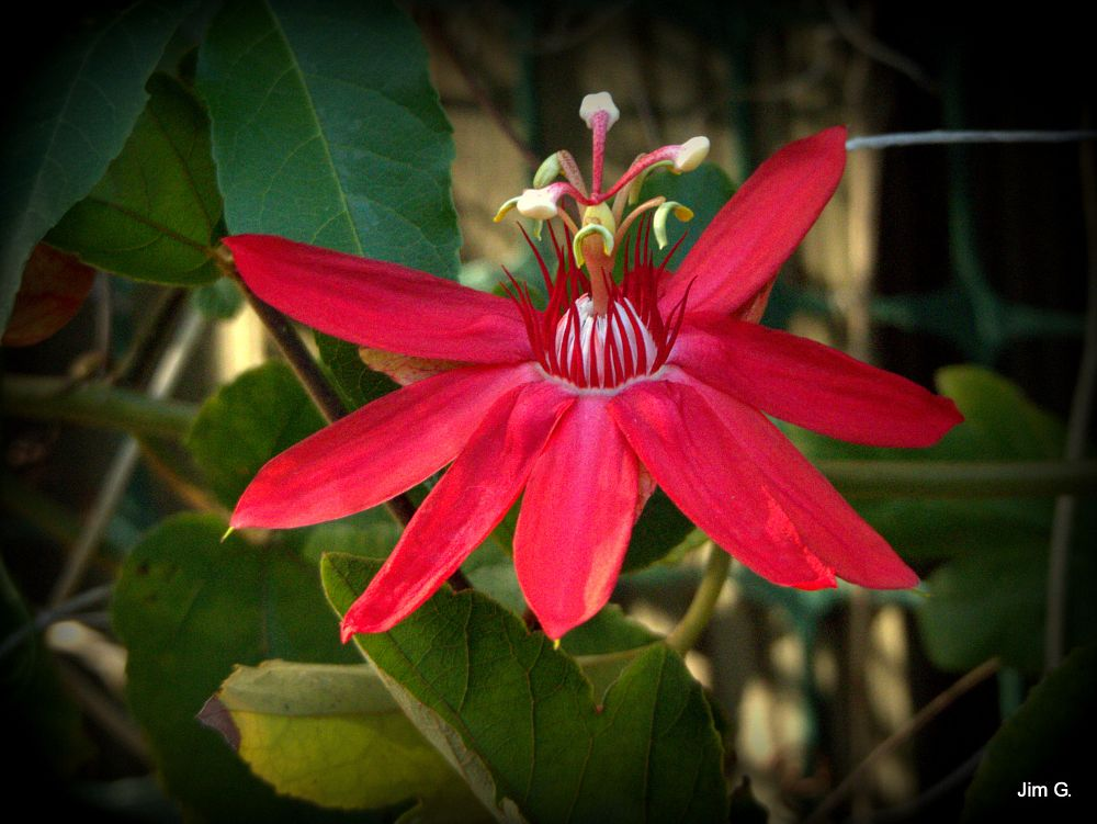 Photo in Nature #flower #passion #red