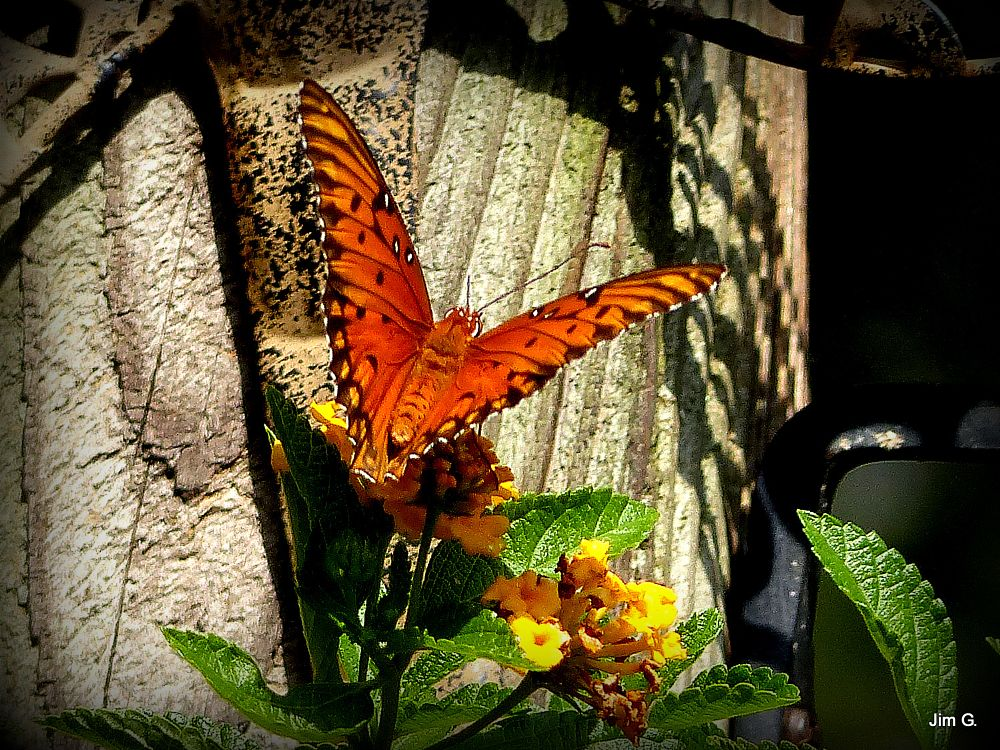 Photo in Nature #insect #butterfly #fritillary