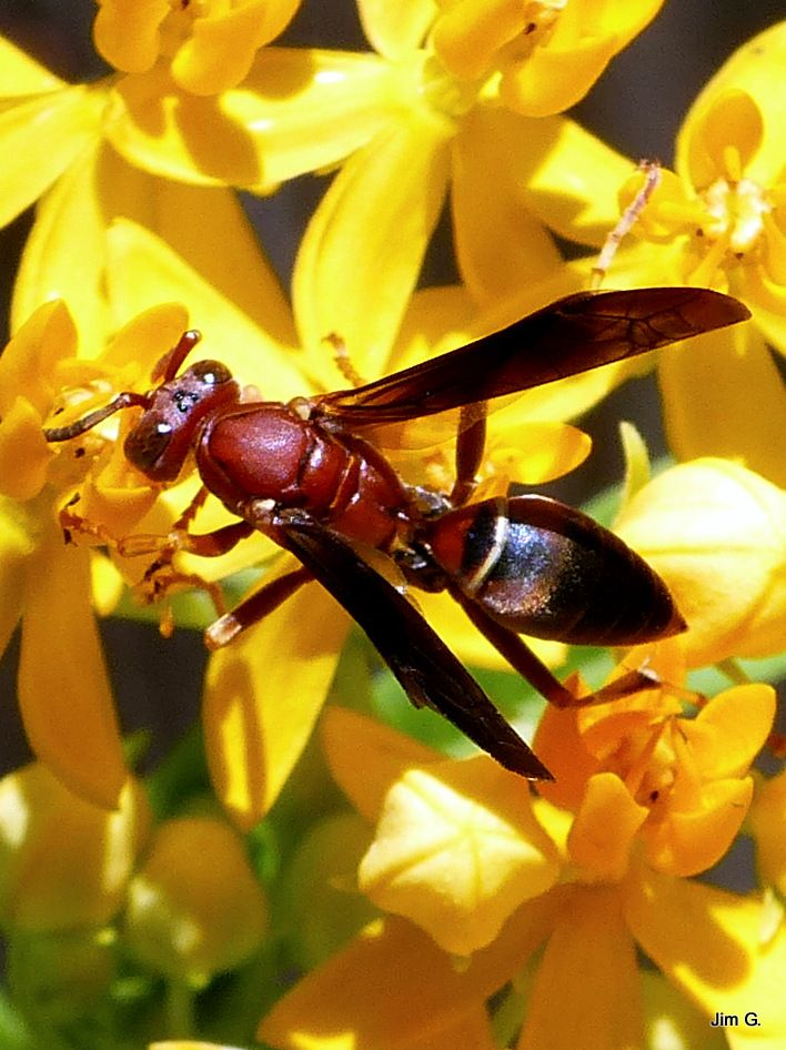 Photo in Nature #insect #wasp #sting #yellow #black #red