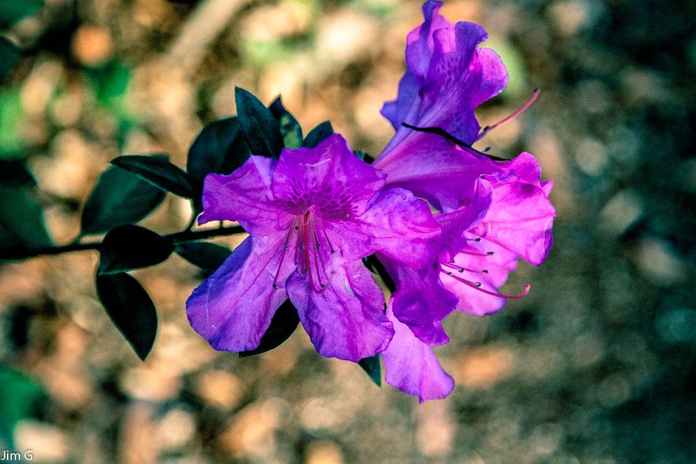 Photo in Nature #flowers #azaleas #blooms