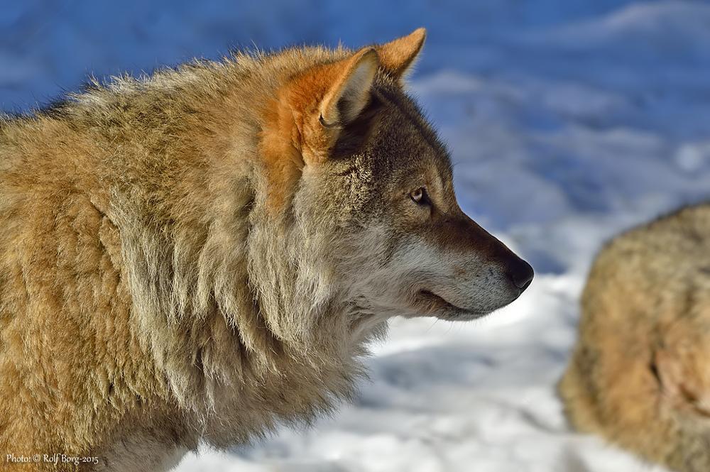 Photo in Animal #wolf #animal #nature