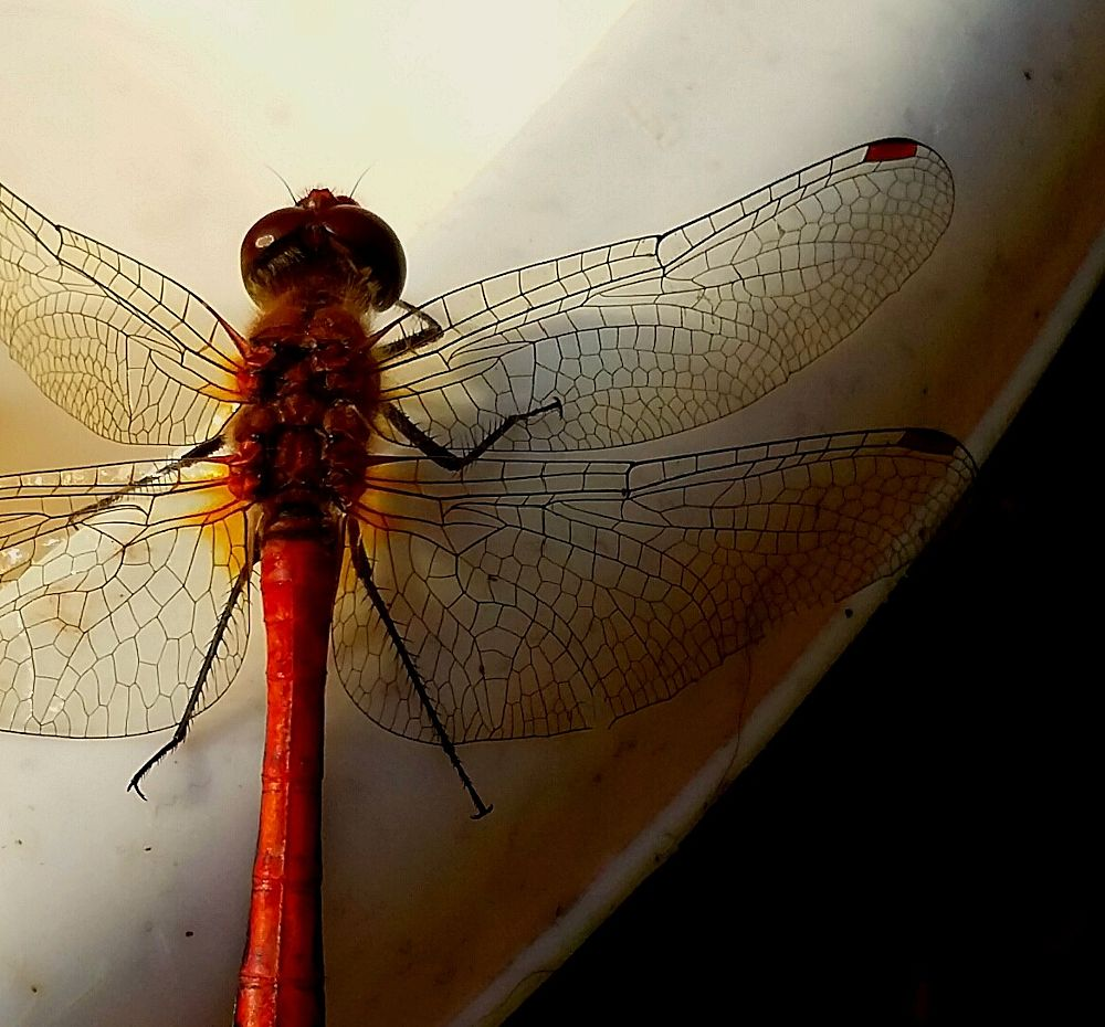 Photo in Macro #red #insect #damselfly #nature