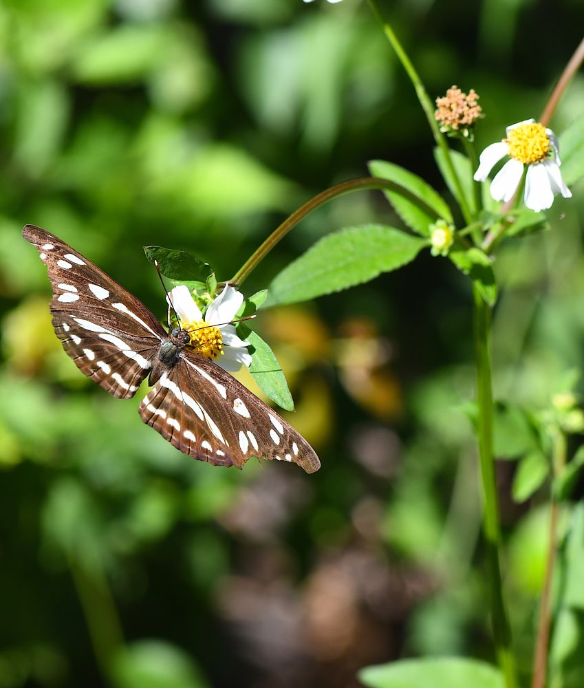 Photo in Nature #butterfly #insect #bug #flower #leaves #brown #white #green #travel #tourism #hong kong #china #nature #d500 #nikon #baity #location