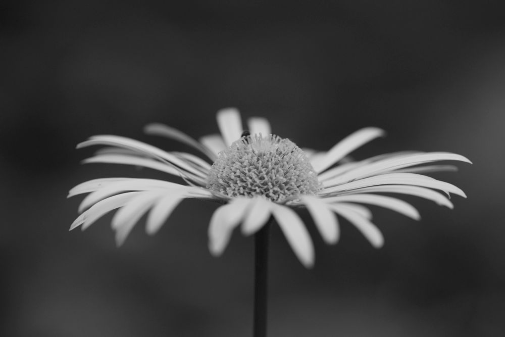 Photo in Black and White #plant #flower #daisy #blossom #pollen #petal #bloom #black and white #black & white #bnw #b&w #travel #tourism #sopot #bulgaria #nikon #baity #shallow dof #dof #creativityshared