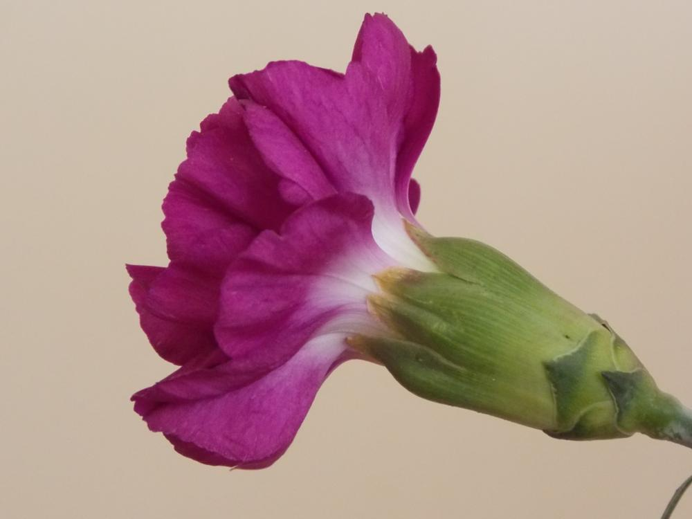 Photo in Nature #carnations #purple #flower