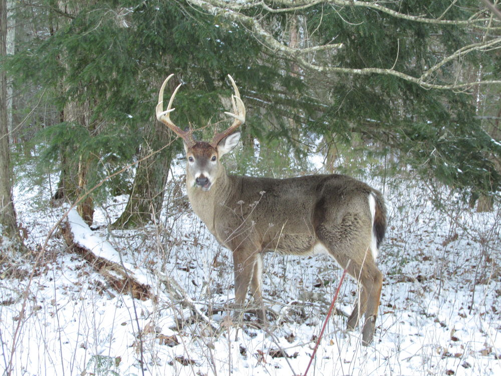 Photo in Random #buck #whitetailedbuck #smoky mountains #great smoky mountains #snow #winter2014 #nature #deer