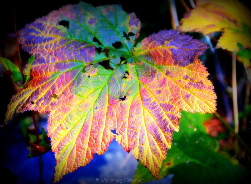 Photo in Nature #leaf #color #autumn #washington #nature #pacific northwest #nikon