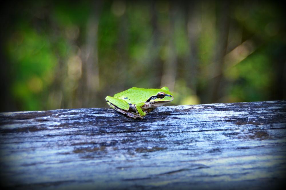 Photo in Animal #animal #amphibian #nature #washington #washington state #frog #green #wildlife