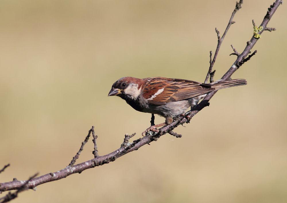 Photo in Nature #sparrow #bird #nature #wildlife #canon