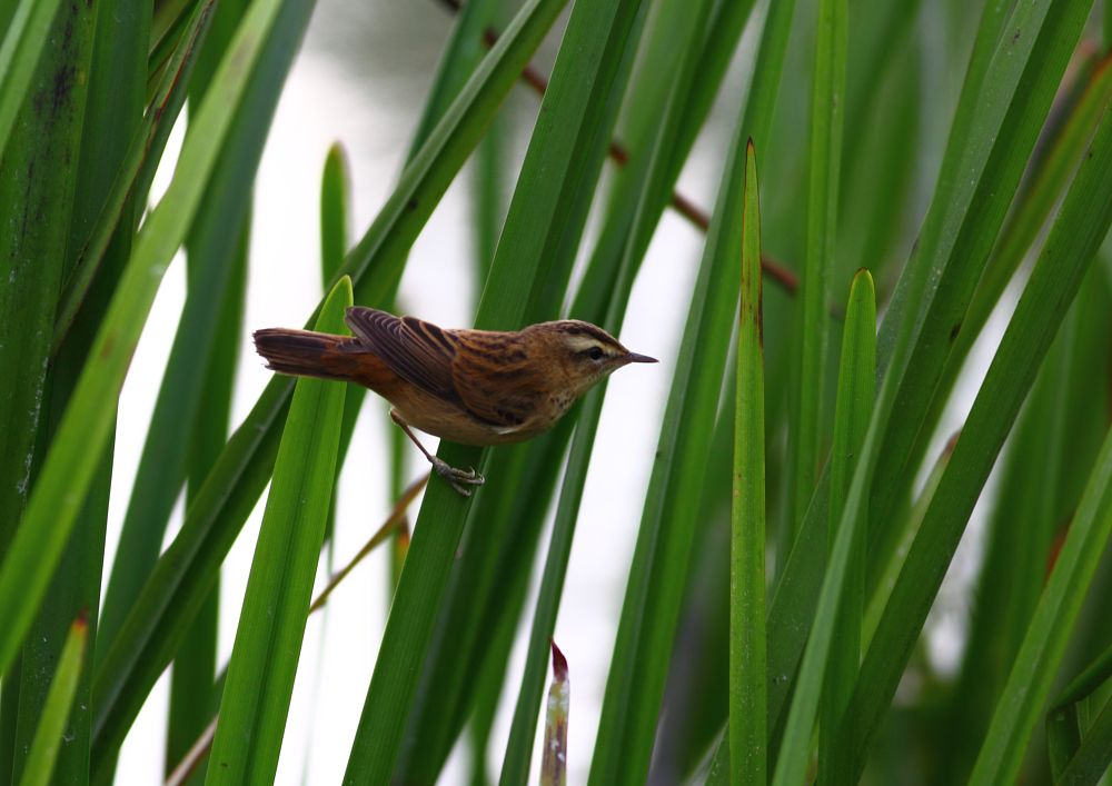 Photo in Nature #bird #reeds #nature #wildlife #canon #no people