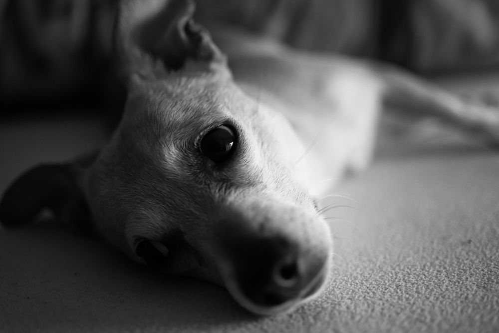 Photo in Black and White #animal #dog #cañón #dogs #bw #animals #black and white #zeiss #zeiss distagon #canon 5d #canon 5d mkiii