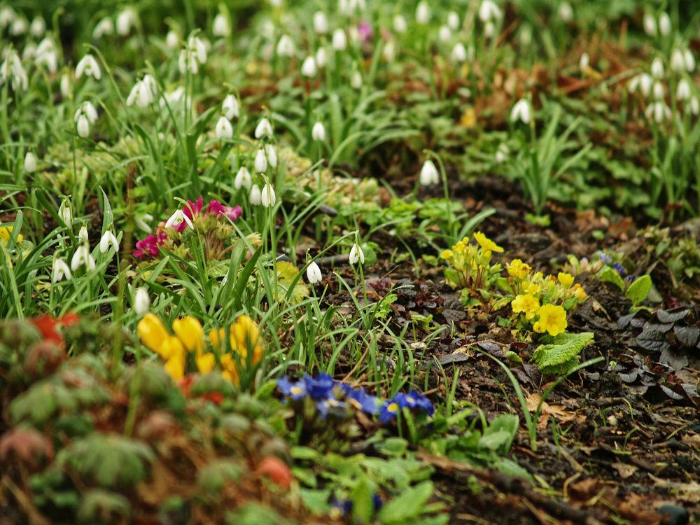 Photo in Nature #flowers #nature #spring #crocus #snowdrops #primrose