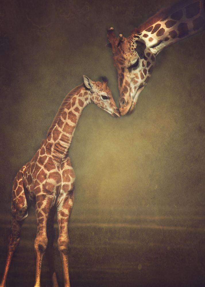 Photo in Nature #giraffes #baby #mother #zoo #animal #africa #wild