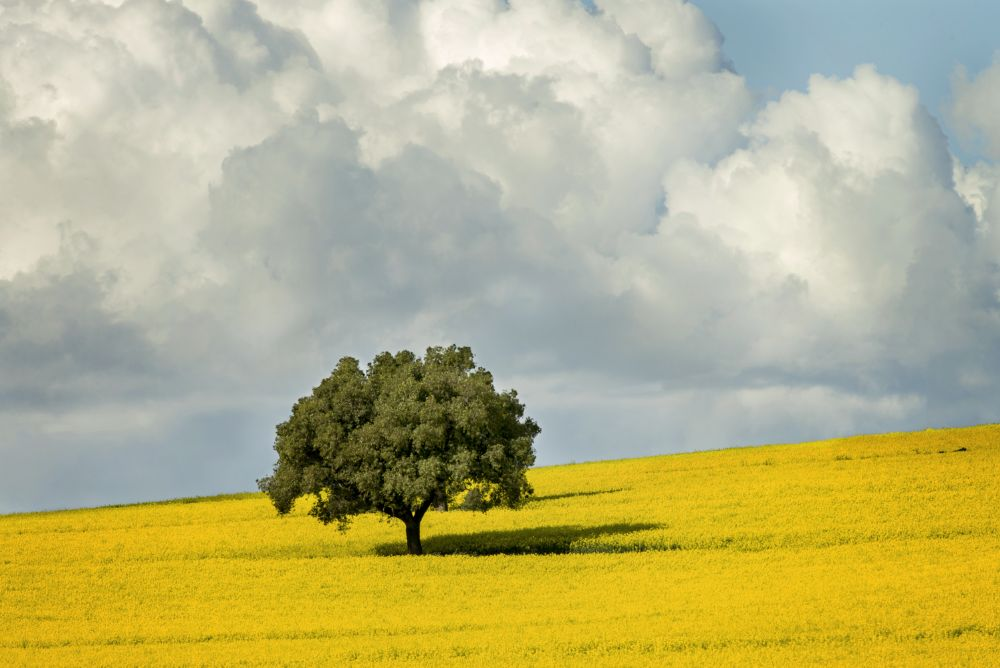 Photo in Landscape #canola #landscape #yellow #tree