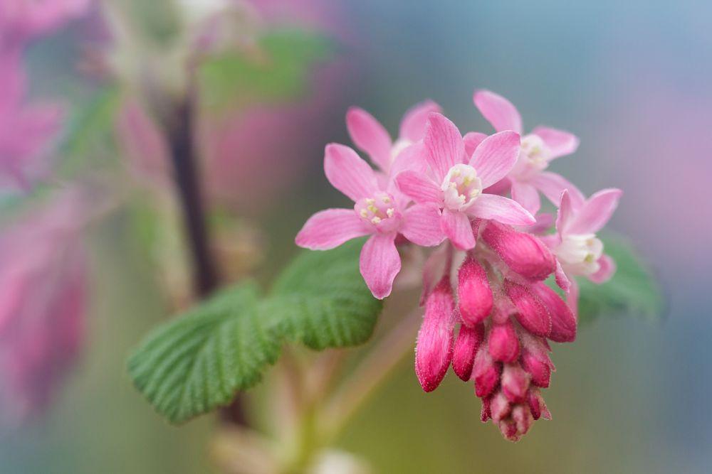 Photo in Nature #macro #pink #plant #flower #bells