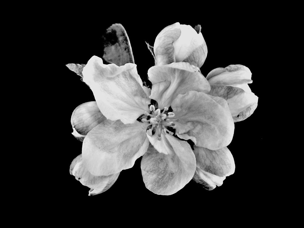 Photo in Macro #apple blossom #flower #black and white #spring #macro