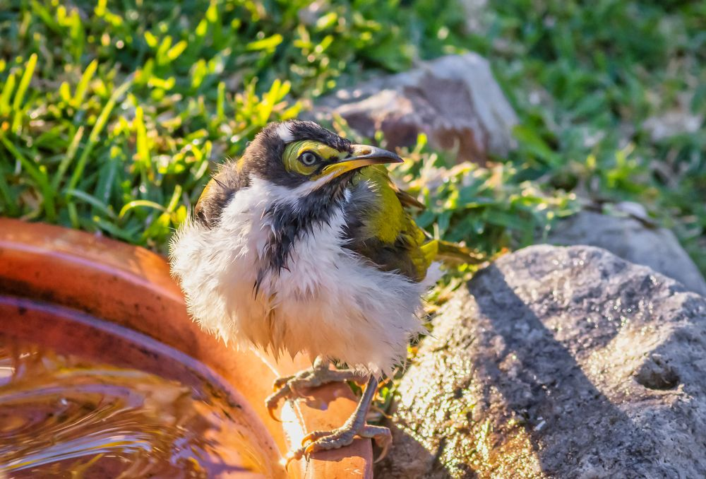 Photo in Animal #19-06 #2021 #beauty #bird #bird photography #birds #blue-faced honeyeater #native #nature #peregian springs #uwe wullfen photography #wildlife #wildlife photography #yellow
