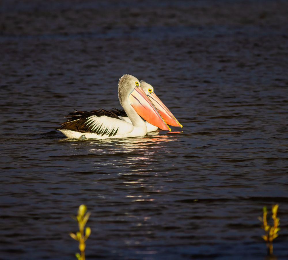 Photo in Animal #2021 #25-05 #animal #australia #australian pelican #bird #birds #lake #lake weyba #nature #pelican #queensland #sunshine coast #uwe wullfen photography #water #wildlife #wildlife photography #bird photography #native #australian bird