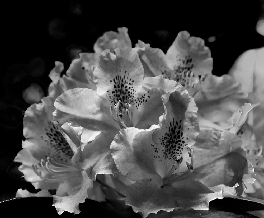 Photo in Black and White #rhodondendron