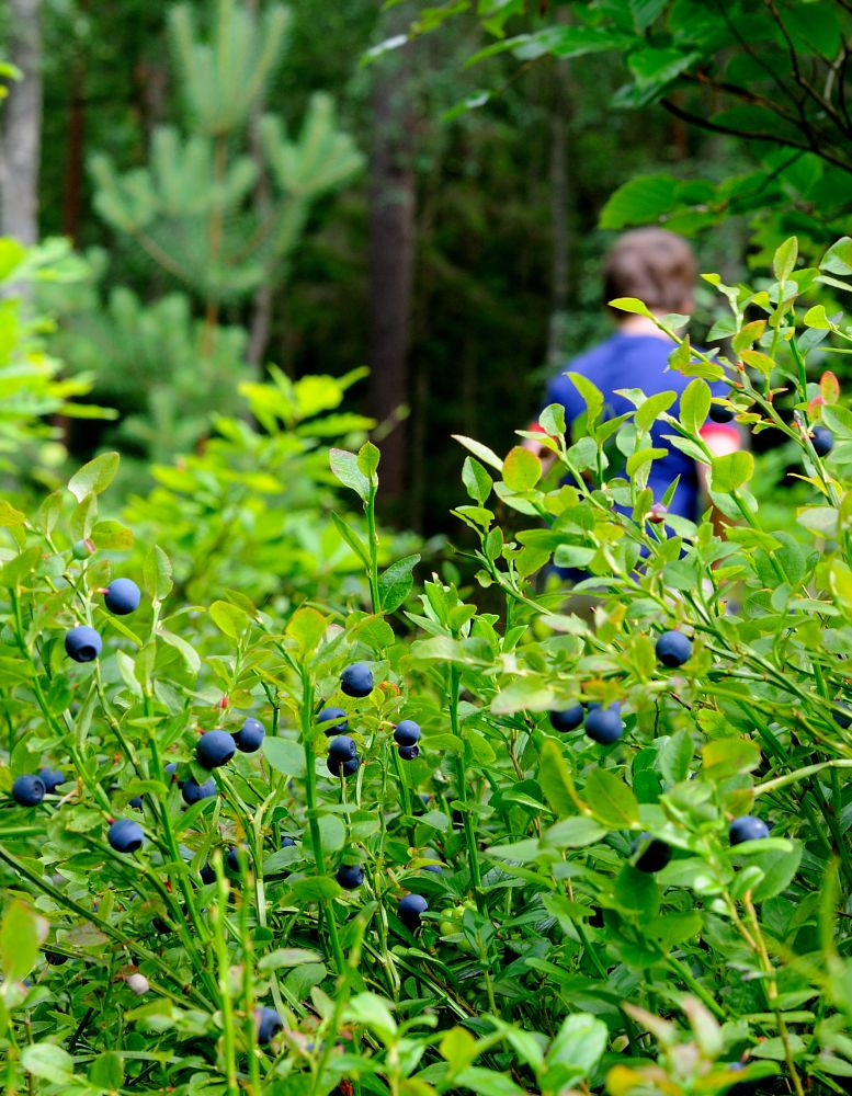 Photo in Nature #blueberry #blueberries #sweden